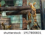 Monkeys In A Cage In A Zoo.