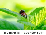 Two Small Ladybugs Mating On A...