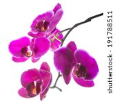 Small photo of Blooming beautiful violet orchid with bandlet, phalaenopsis isolated, white background