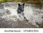 Black Dog Runing In Water For...