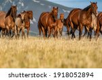 Colorful Herd Of American...