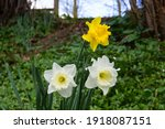 Three Spring Daffodils In The...
