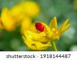 Ladybug On The Blooming Yellow...