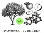 Apple Tree  Branch And Fruits....