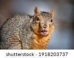 Close Up Of Fox Squirrel