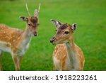 Deers Grazing On Meadow. Deer...