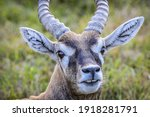 The blackbuck  antilope...