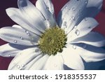 White Daisy With Raindrops On...