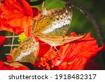 Female Cruiser Butterfly ...