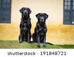 Two Purebred Black Labradors...