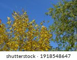 yellow leaves of ash and green... | Shutterstock . vector #1918548647