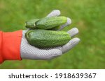 cucumbers in the hands of a... | Shutterstock . vector #1918639367