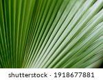 Green Leaf Of Palm Tree Close...