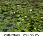 Water Surface Overgrown With...