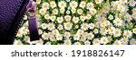 Wild Daisy Flowers Growing On...