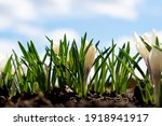 White Crocuses Grow In Early...