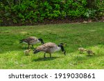 Canadian Geese Parents Eating...