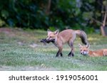 Red Fox Kit Walking With Lunch...