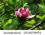 Nice Magnolia Tree Flowers At...