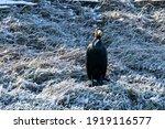 The Great Black Cormorant ...