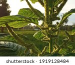 A Closeup Of Spinach Plant With ...
