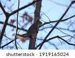 Squirrel Climbing Brown Orange...