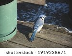 Close Up Of A Blue Jay Bird On...