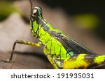 Small photo of Macro of a monkey or matchstick grasshopper (Eumastacidae)
