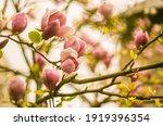 Magnolia Bloom  Pink Magnolia...