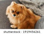 Pomeranian Dog Of Bright Ginger ...