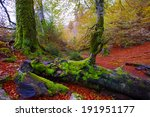 Stock photo autumn selva de irati fall beech jungle in navarra pyrenees of spain 191951177