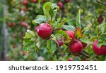 Red Apple Variety On The...