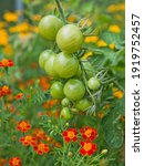 Tomato Plants With Green Fruit...