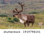 Male Caribou Develop Their...
