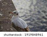 Portrait Of White Seagull Near...