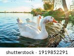 Close Up Of Geese In The Water...