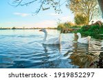 Geese In The Water Of The Lake...