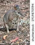 The Tammar Wallaby  Also Known...