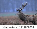 The Red Deer Is One Of The...