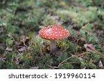 The Fly Agaric Is A Mushroom...