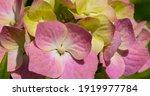 Hydrangea Macrophylla  ...