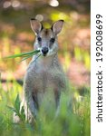 Small photo of Agile wallaby (Macropus agilis) chewing grass at Tyto wetlands.