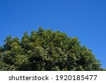 Crown Of Cape Ash Tree Against...