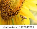 Honey Bee Pollinating Sunflower ...