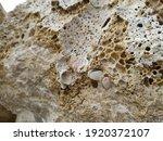 Date Shell  Lithophaga...