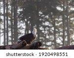 A Bald Eagle Perched On...