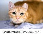 An Orange Tabby Shorthair Cat...