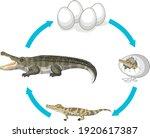 life cycle of crocodile on...   Shutterstock .eps vector #1920617387