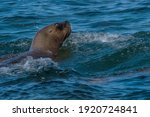 sea lion head in patagonia...   Shutterstock . vector #1920724841