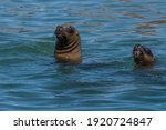 sea lion head in patagonia...   Shutterstock . vector #1920724847